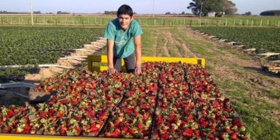 Desmochado avanza con su proyecto de congelado de frutillas